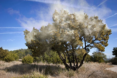 Mountain Cedar tree releasing clouds of pollen