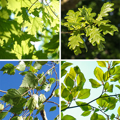 Photo of maple tree leaves, oak leaves, birch leaves.